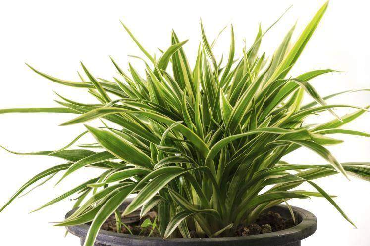 Drácena (Dracaena marginata)