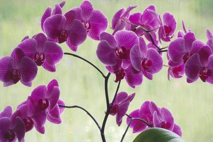 Orquídea mariposa (Phalaenopsis)