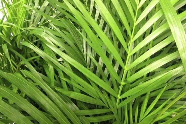 Palma areca o bambú (Dypsis lutescens)