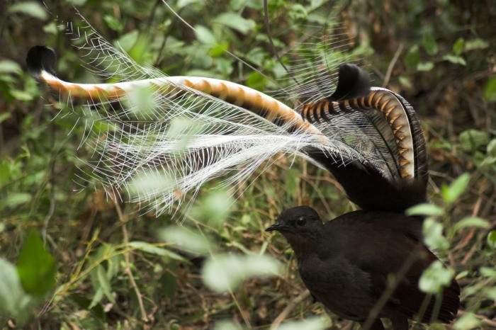 Este increíble ave de extraño plumaje sabe imitar casi cualquier sonido que puedas imaginar 14