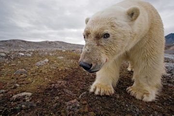 Esta osa polar necesita tu voz para mandar un importante mensaje al mundo 14