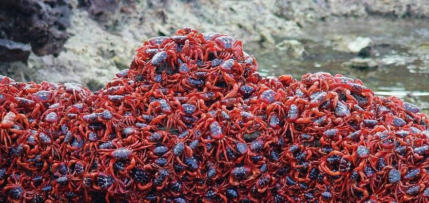 Cangrejos rojos de la Isla de la Navidad