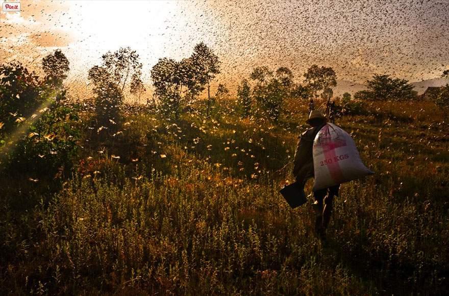 Langostas, Madagascar