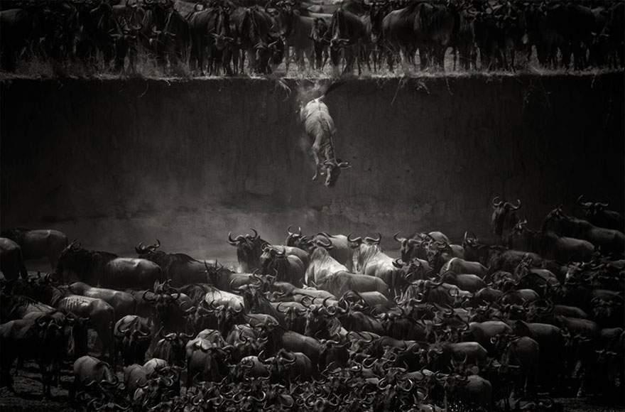 Connochaetes, río Mara, Norte del Serengeti