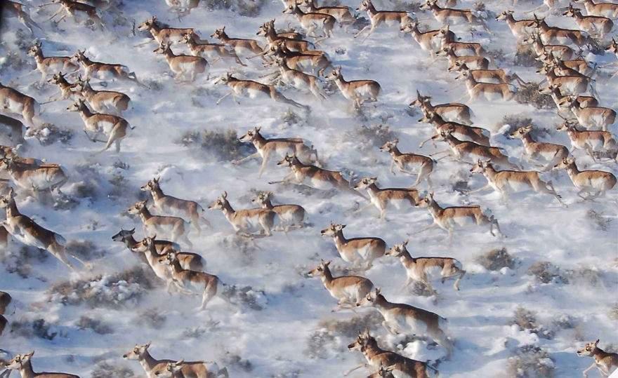 Antilocapras americanas, Canadá