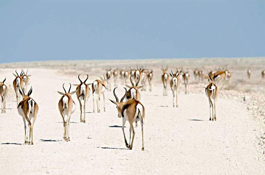 Antílopes ruanos, Namibia