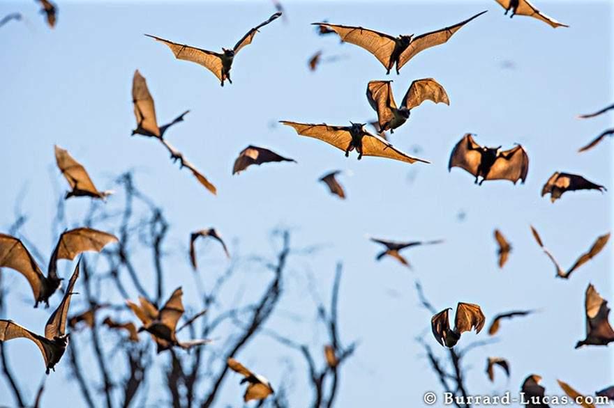 Murciélagos de la fruta, Zambia