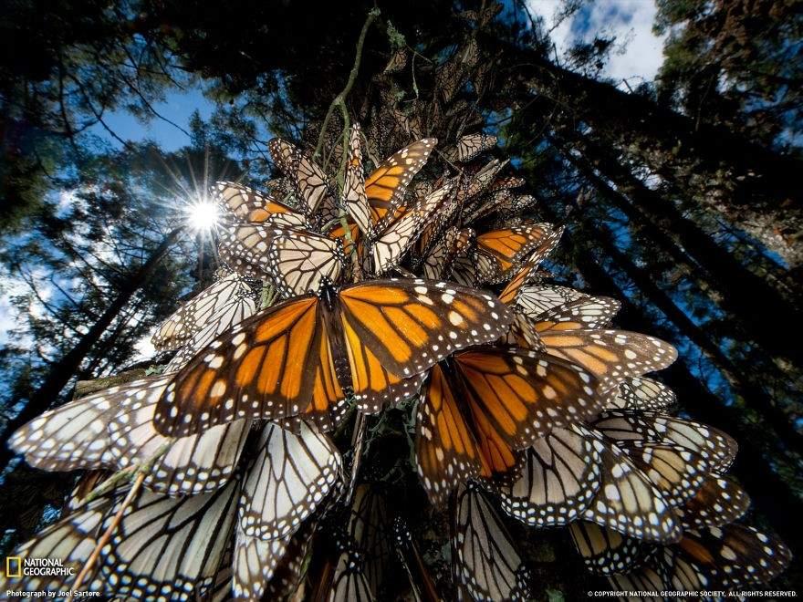 Mariposas monarca, México