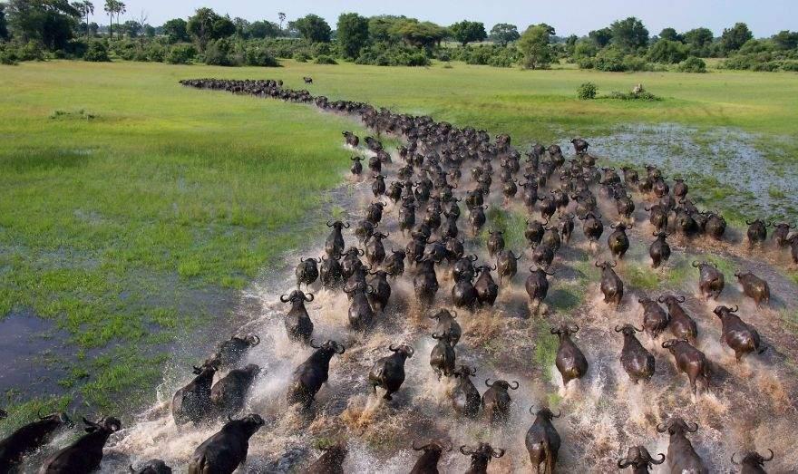 Búfalos africanos