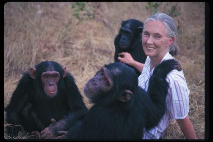 ¿Sabes porqué los chimpancés adoran a esta mujer? Emocionante vídeo de su reacción 12