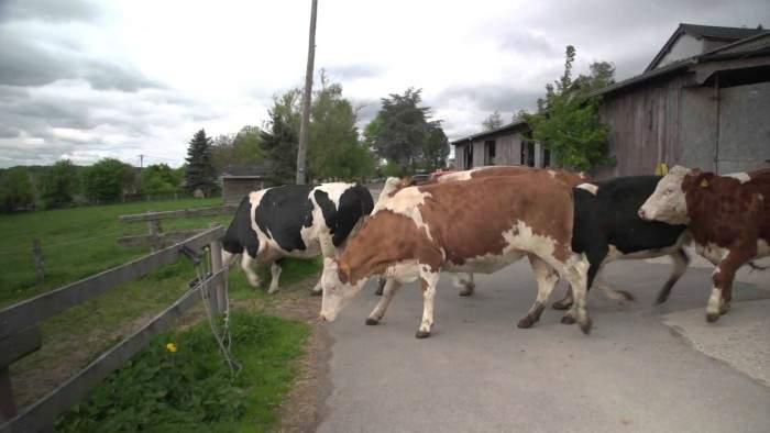 No podrás creer la reacción de estas vacas cuando descubren lo que tienen delante 14
