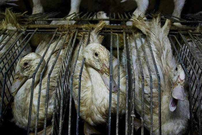 """¿Cómo se hace el """"foie gras""""? Vídeo revela la crueldad animal del mayor productor mundial 5"""