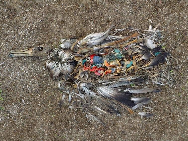 Albatros muerto por la ingestión excesiva de plástico en Islas Midway (Pacífico Norte)