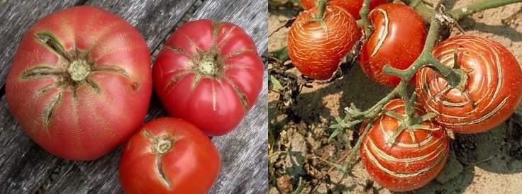 rajas-grietas-concentricas-radiales-tomates
