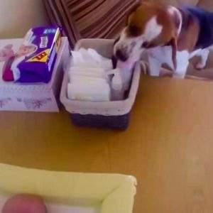 Descubre porqué este Beagle es la mejor niñera de este bebé 4