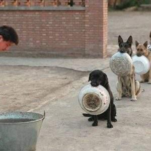 Perros policía en China esperan la comida en fila mejor que la mayoría de las personas 10