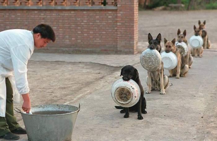 Perros policía en China esperan la comida en fila mejor que la mayoría de las personas 1