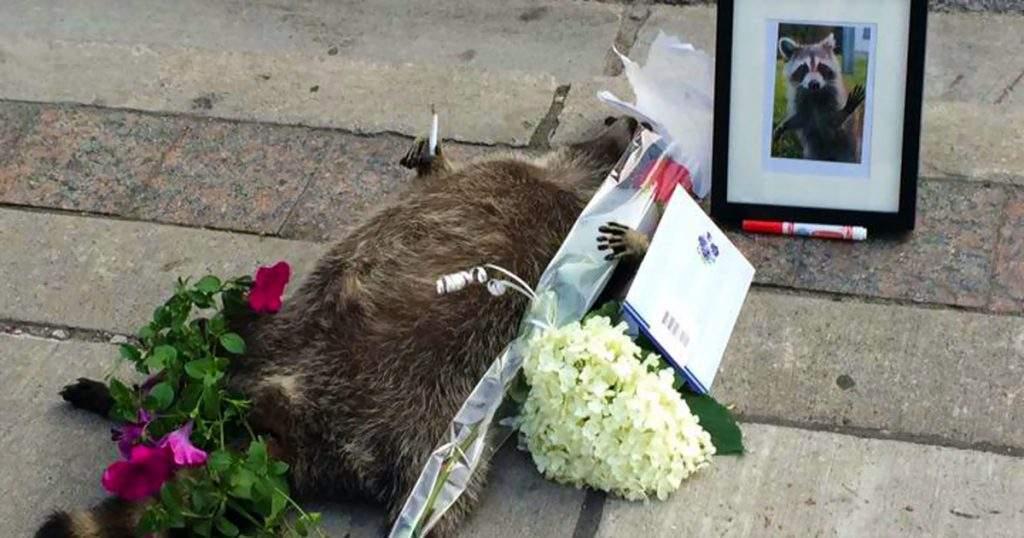 Vecinos de Toronto erigen un santuario a un mapache que el ayuntamiento olvidó retirar de la calle 12