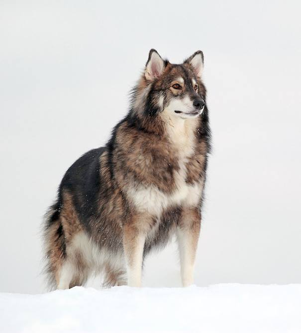 Cruce de Alaskan Malamute, Siberian Husky y German Shepherd
