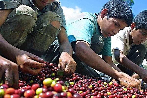 Varios niños trabajan como recolectores de aceitunas en Chile.