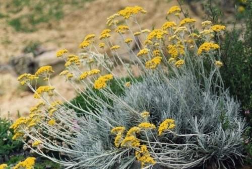 Helichrysum_italicum_MEDICAL