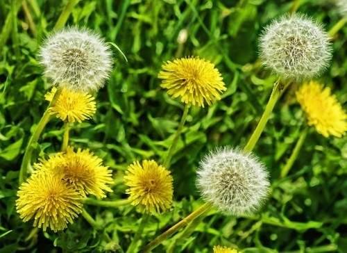 dandelions-MEDICINAL