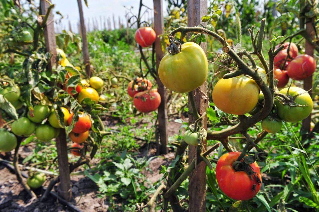 Pascal Poot Tomates