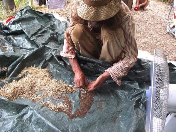 pascal-poot-extrait-les-semences-de-chou-brocolis-calabrais-a-jets-verts