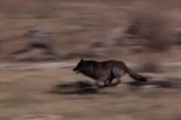 Reintrodujeron a 14 lobos en un parque. Pero nadie esperaba el sorprendente cambio que ocurrió. 12