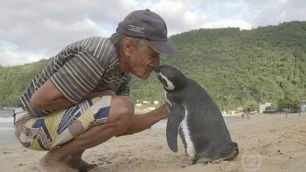 El pingüino que nada 5.000 millas cada año para ver al hombre que le salvó la vida 1