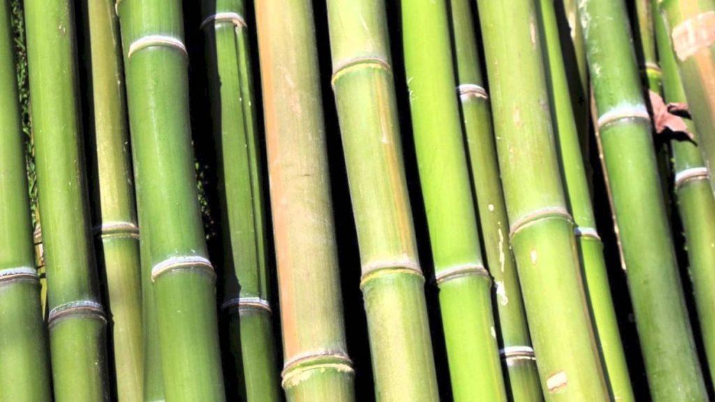 la cantidad de oxígeno que produce un bambusal es muy superior a cualquier otro sistema forestal sobre la misma superficie de terreno
