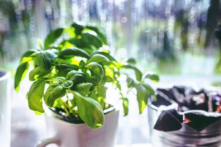 22 plantas medicinales que puedes cultivar en tu casa (aunque sea pequeña) 4