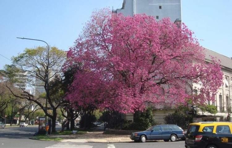 Árbol nativo: Lapacho rosado. En Avenida Figueroa Alcorta, Buenos Aires, Argentina.
