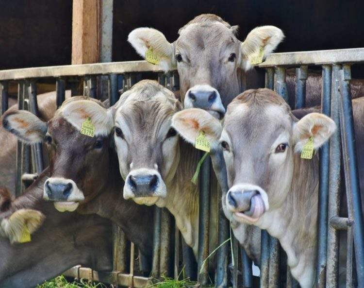 El problema no es la carne, sino cómo tratamos a los animales antes de ser nuestro alimento 3
