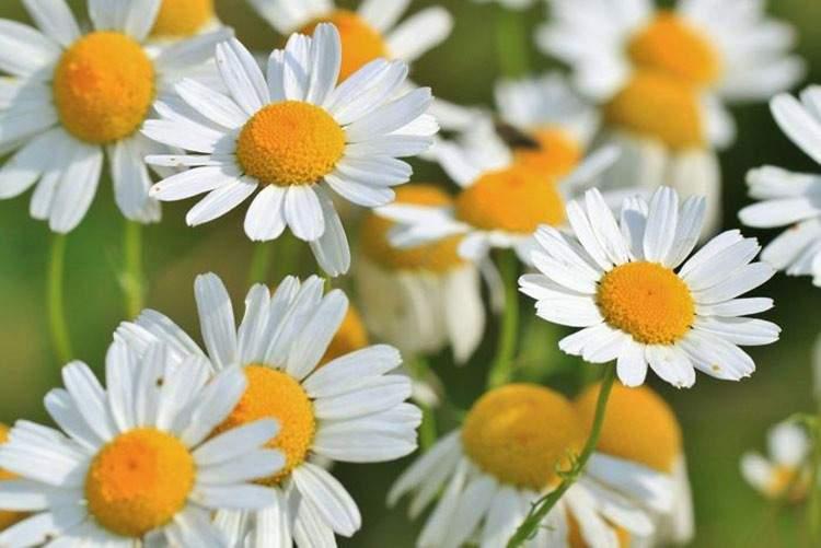 22 plantas medicinales que puedes cultivar en tu casa (aunque sea pequeña) 11