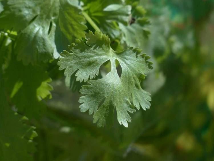 22 plantas medicinales que puedes cultivar en tu casa (aunque sea pequeña) 15