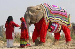 Jerseys gigantes para proteger del frío a los elefantes de un santuario en India 12
