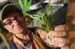 ¿Cómo puede ayudar la marihuana a los ancianos? Un estudio científico nos lo explica 14