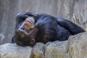 """Una chimpancé argentina ha sido reconocida como """"sujeto de derecho no humano"""" 14"""