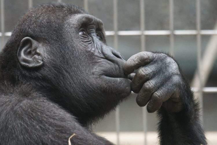 """Una chimpancé argentina ha sido reconocida como """"sujeto de derecho no humano"""" 1"""