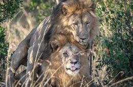 Kenia culpa a los turistas homosexuales de un encuentro sexual entre leones macho (no es broma) 4