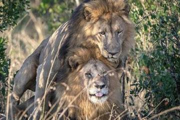 Kenia culpa a los turistas homosexuales de un encuentro sexual entre leones macho (no es broma) 6