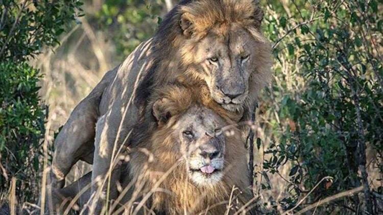 Kenia culpa a los turistas homosexuales de un encuentro sexual entre leones macho (no es broma) 2