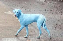 La triste razón por la que se ven pasear perros azules por las calles de Bombay 4
