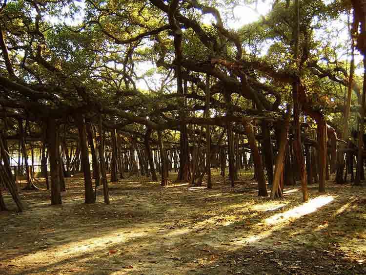 Thimmamma Marrimanu, el bosque indio de 19.000 metros cuadrados formado por un solo árbol 3