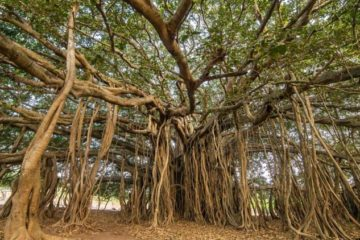 Thimmamma Marrimanu, el bosque indio de 19.000 metros cuadrados formado por un solo árbol 10