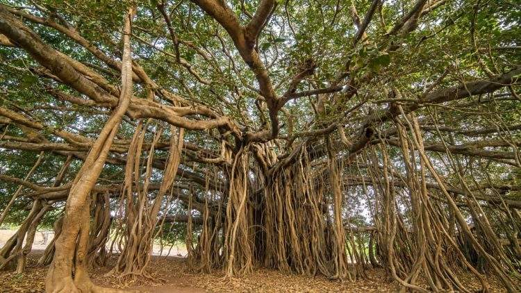 Thimmamma Marrimanu, el bosque indio de 19.000 metros cuadrados formado por un solo árbol 1
