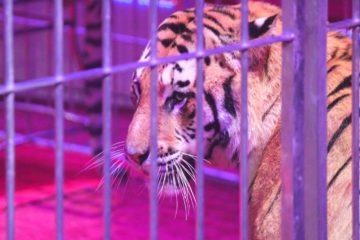 Italia se convierte en el 41º país en prohibir los circos con animales 11