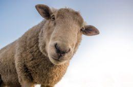 La revolución del ecopastoreo: Roma apuesta por las cabras y ovejas para cortar la hierba de sus parques 18