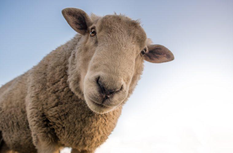 La revolución del ecopastoreo: Roma apuesta por las cabras y ovejas para cortar la hierba de sus parques 2